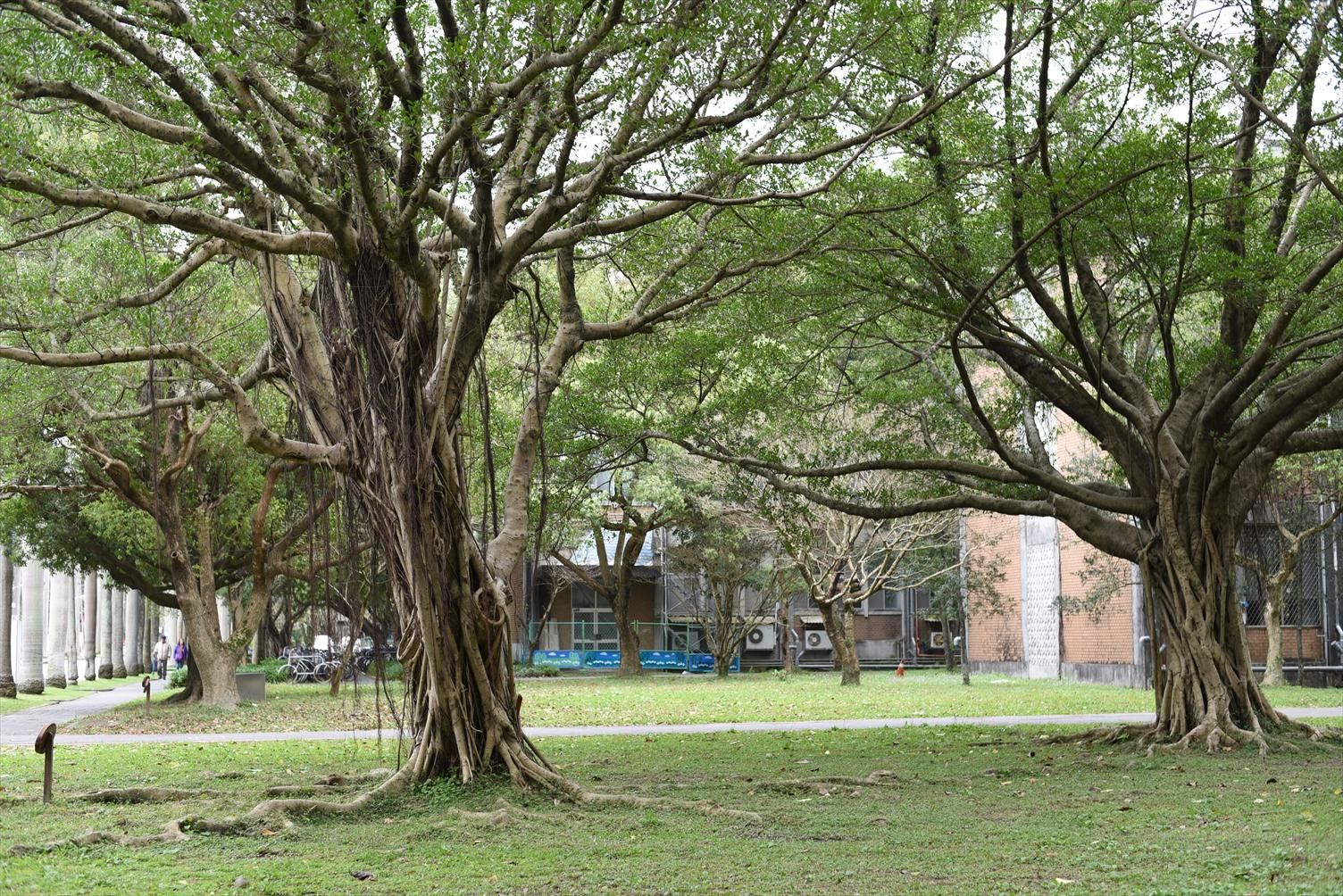 台湾大学 緑