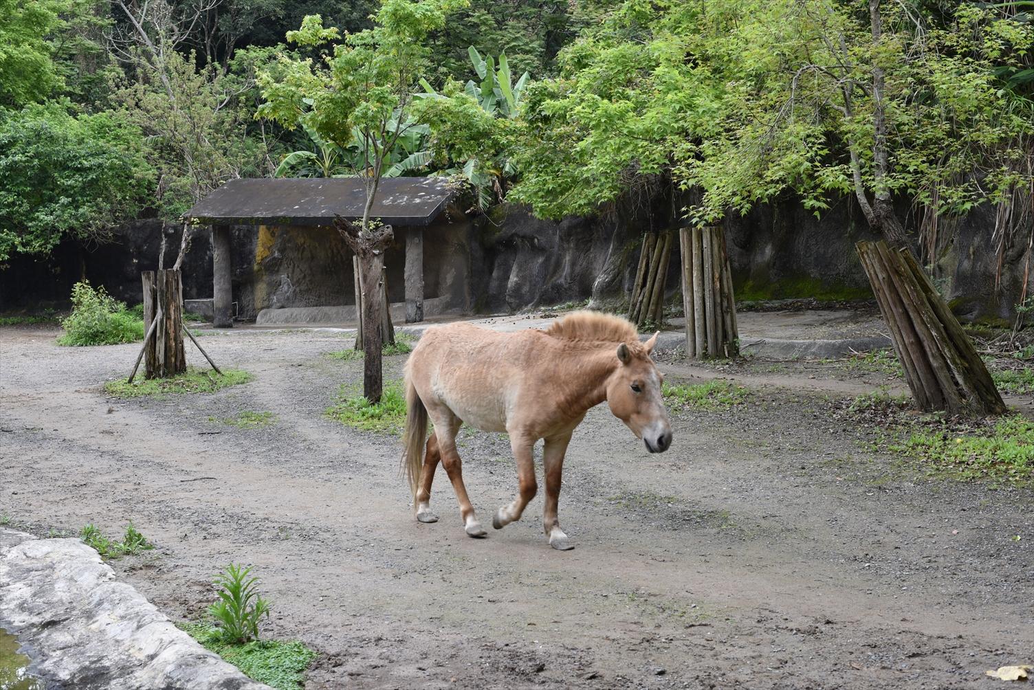 台北市立動物園 馬
